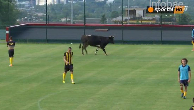Vaca interrumpió partido de fútbol y se robó el show — YouTube