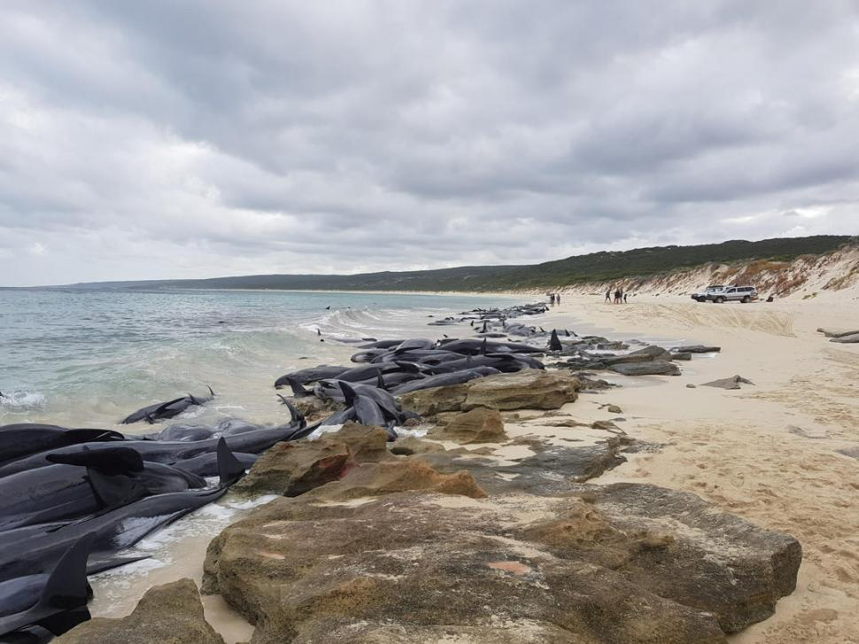 Al menos 75 ballenas piloto murieron hoy al quedar varadas en Australia