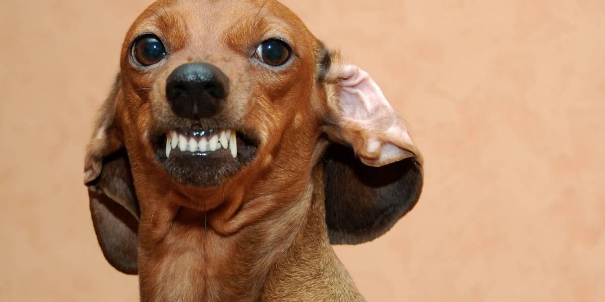 Insólito: una mujer murió tras ser atacada por 7 perros salchicha