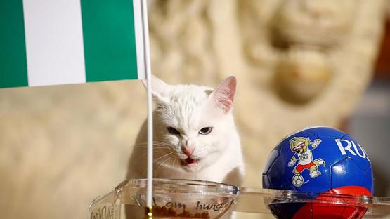 Video: un gato predijo el resultado del partido de Argentina ante Nigeria