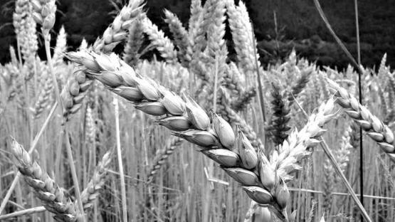 El trigo transgénico argentino tendría trabas en Brasil