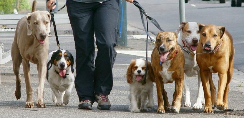 Paseadores de perro deberán tener un carnet habilitante