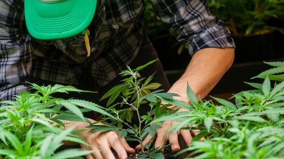 Inaugurarán mañana en Jujuy el primer laboratorio de cannabis medicinal del país